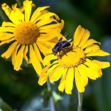 Carpenter bee on sneezeweed