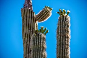 Saguaro flowers (1 of 1) blog