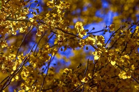 Palo Verde Blossoms (1 of 1)-3 blog