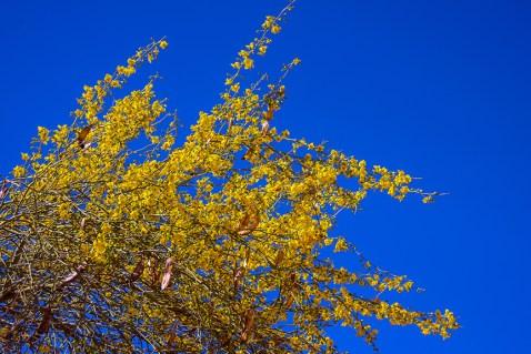Palo Verde Blossoms (1 of 1) blog