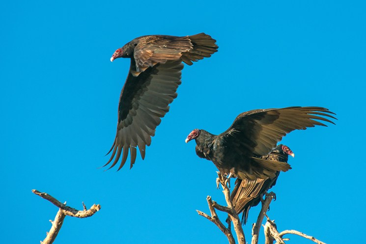 turkey-vulture-1-of-1-10-blog