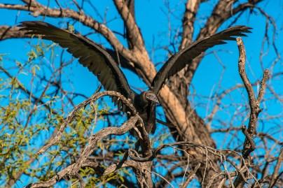 turkey-vulture-1-of-1-20-blog