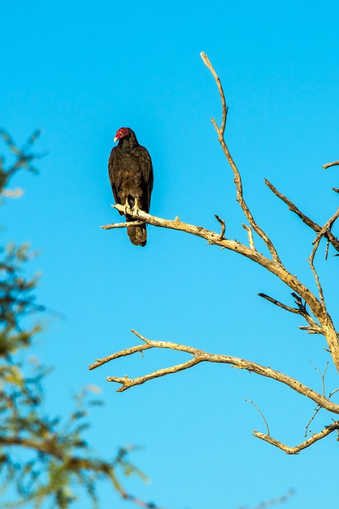 turkey-vulture-1-of-1-27-blog