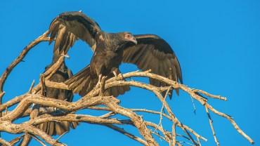 turkey-vulture-1-of-1-7-blog