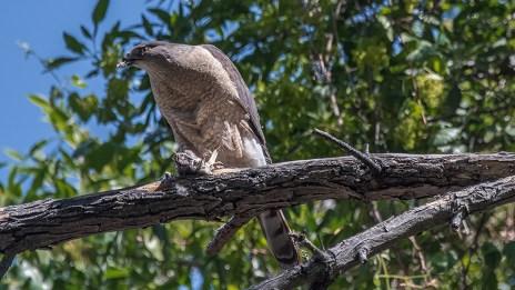 Cooper's Hawk-1238 blog