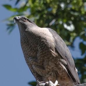 Cooper's Hawk-1243 blog