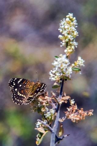 Texas Crescent Butterfly-1905 blog
