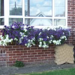 Window box with purple and white flowers