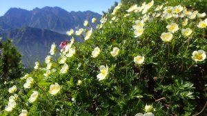 山の花の記憶 ②チングルマ