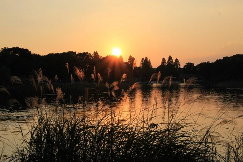 昭和記念公園のコスモス-Japan Nomad (7)
