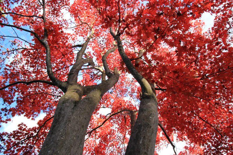 昭和記念公園の紅葉-Japan Nomad (14)