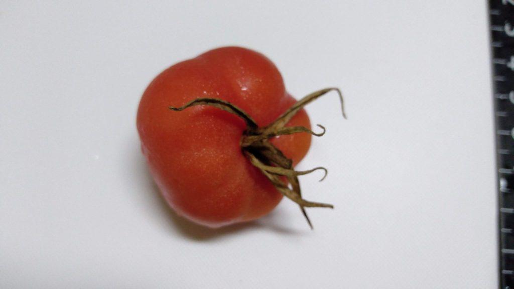 水耕栽培のアロイトマトの落ちた実 アップ