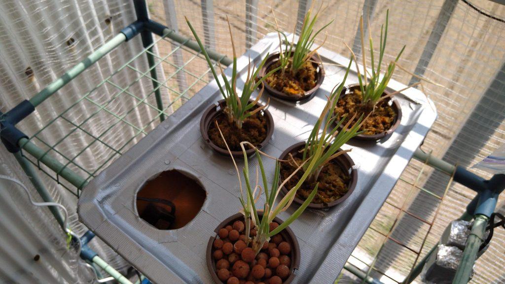 水耕栽培装置に植え替えた小ネギ