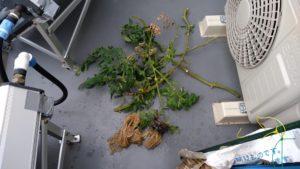 水耕栽培のアロイトマト カットした後