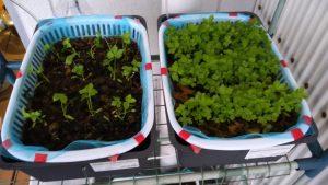水耕栽培 三つ葉