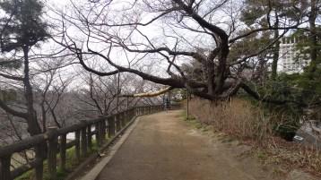 Sophia University dirt path tree 1