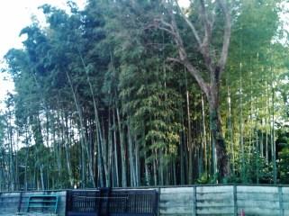 Bamboo grove at Shokoin Temple in Miyanosaka, Tokyo.