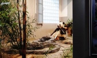 Ueno Park Zoo Tokyo Japan panda eating bamboo