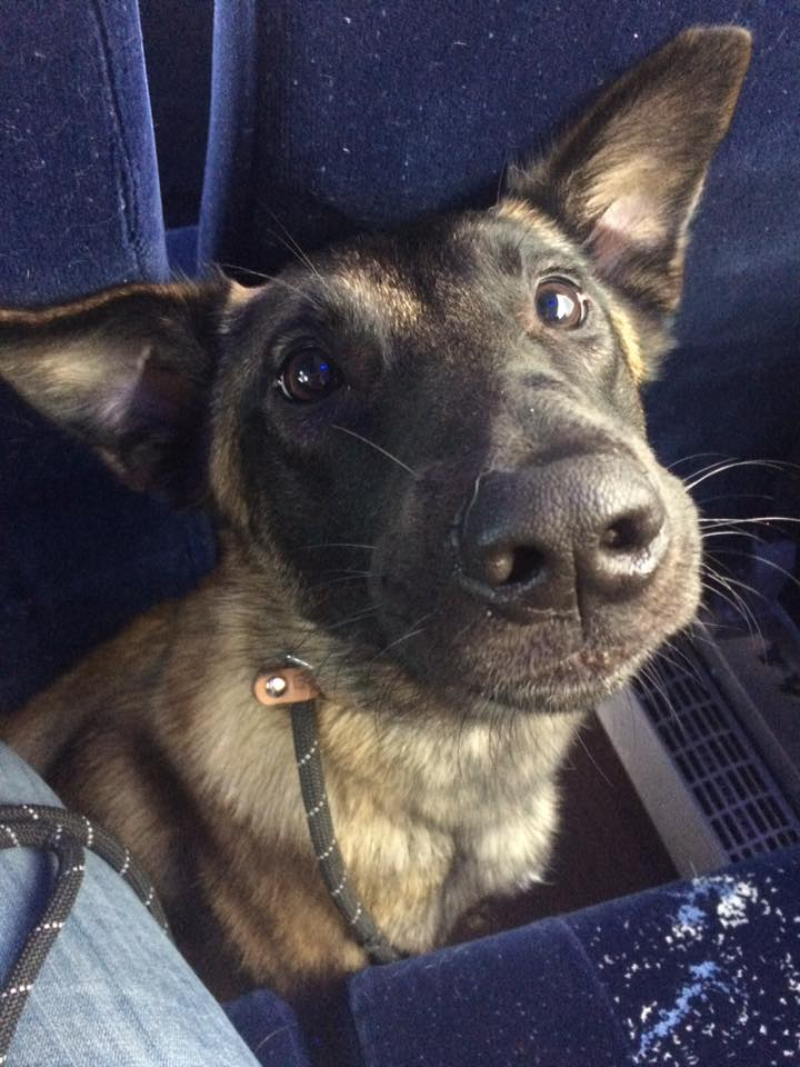 belgian malinois bus ride
