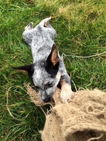 cattle dog biting