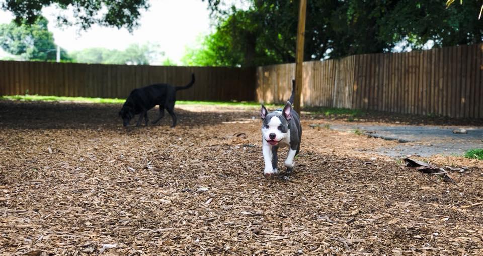 Training Merlin the Pit Bull