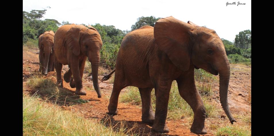 The Nairobi Elephants – Article by Gareth Jones