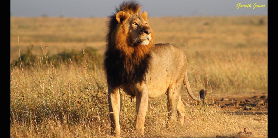 Lions Of Nairobi