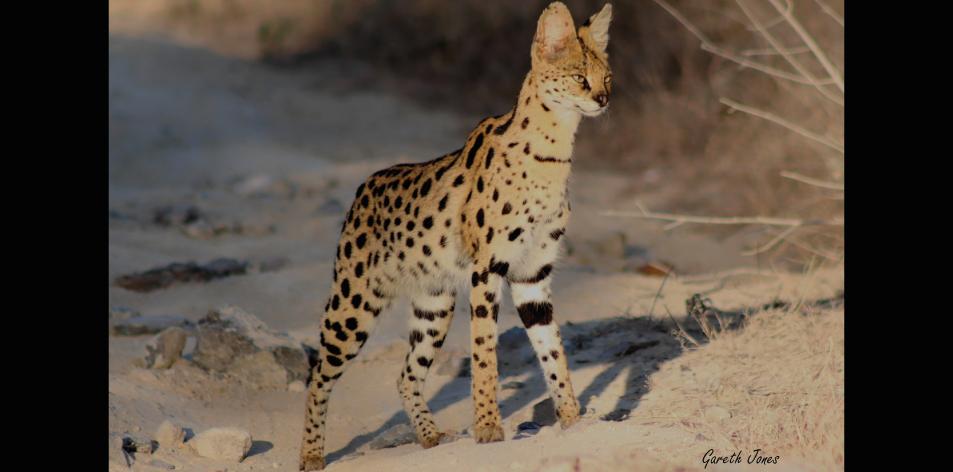 The Sosian Serval