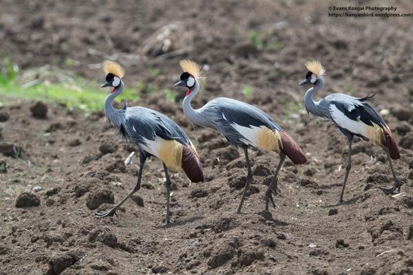 31Three-cranes.0