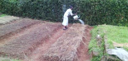 A farmer sprinkling water to her Pyrethrum Nursery