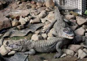 Difference Between Crocodile And Alligator Size