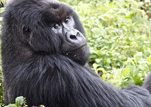 8 Days Uganda Gorilla Safari & Wildlife Tour