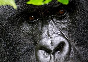 7 Days Uganda Gorilla Safari to Bwindi & Chimpanzee