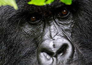 7 Days Uganda Gorilla Safari to Bwindi & Chimpanzee
