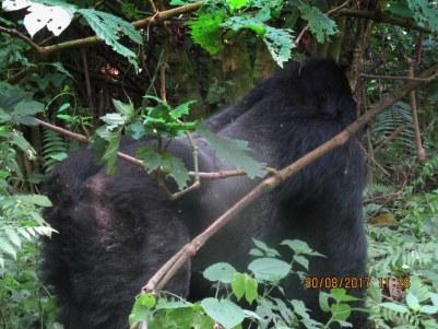 1 Day Rwanda Gorilla Safari to Volcanoes National Park