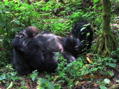 3 Days Rwanda Gorilla Safari to Volcanoes National Park