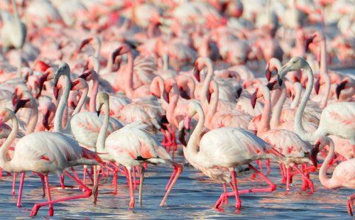 Flamingoes in Lake Nakuru National Park