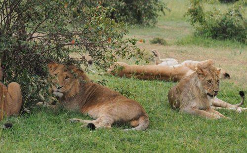 wildlife Masaai Mara National Reserve Kenya