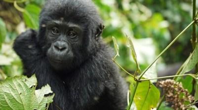 10 Days Rwanda Uganda Gorilla Trekking Safari