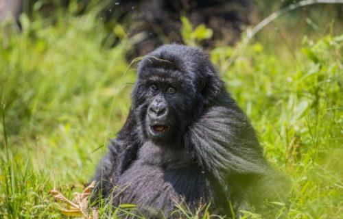 17 Days Uganda, Rwanda Congo Combined Safari