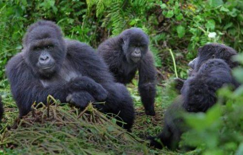 20 Days Rwanda Uganda Gorilla Safari