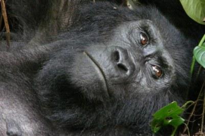 5 Days Rwanda Uganda Trekking Safari