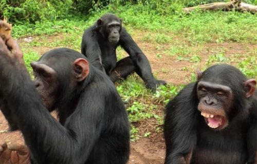Chimpanzee and Wildlife Safari in Uganda – 4 Days