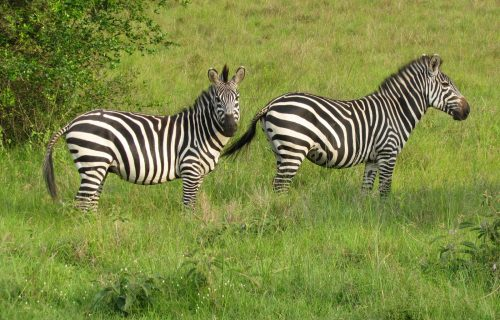 Game Viewing Safari in Uganda 5 days