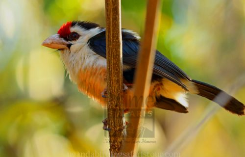 Uganda Birding Safari, Kampala and Lake Mburo 7 days