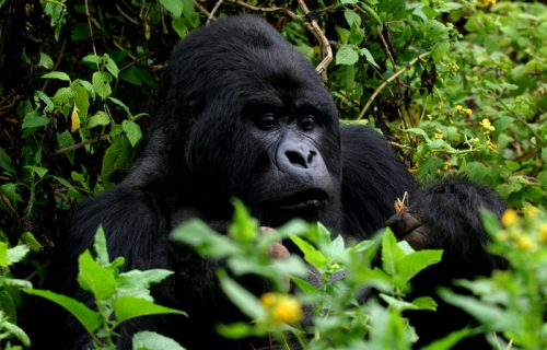 Uganda & Rwanda Gorilla safari- 13 days