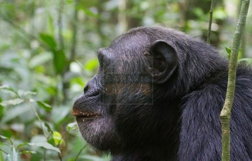Uganda short Safari Tour-Chimpanzees & Wildlife 5 days