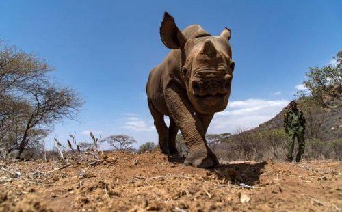black rhinos in Mount Kenya National Park.