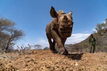 Rhinos in Lewa conservancy