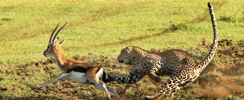 maasai mara wild life pictures of cheetah and antelope